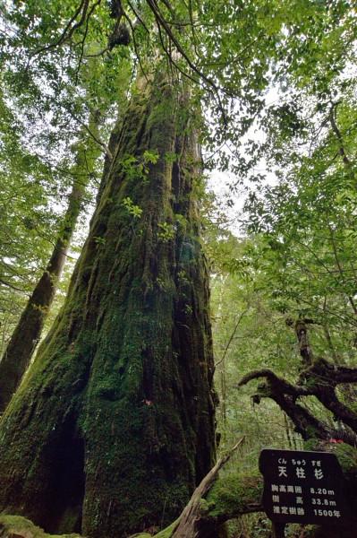 屋久杉ランドの天柱杉