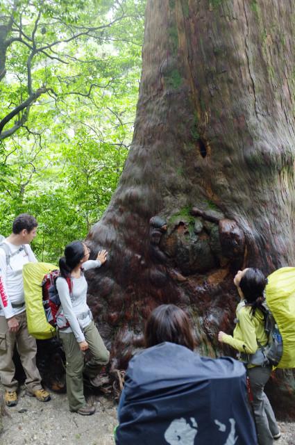 屋久島の巨大な屋久杉