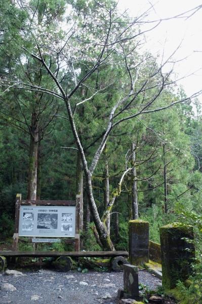 屋久島縄文杉コース小杉谷の桜