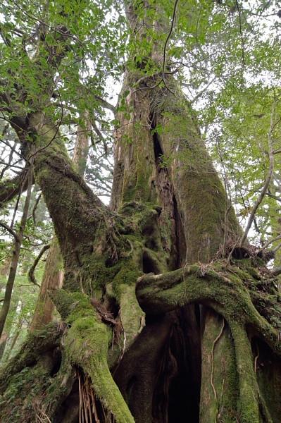 屋久杉ランドの三根杉