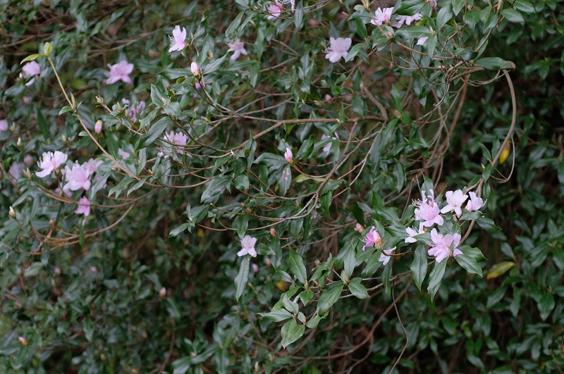 桜色の花、サクラツツジ屋久島白谷雲水峡