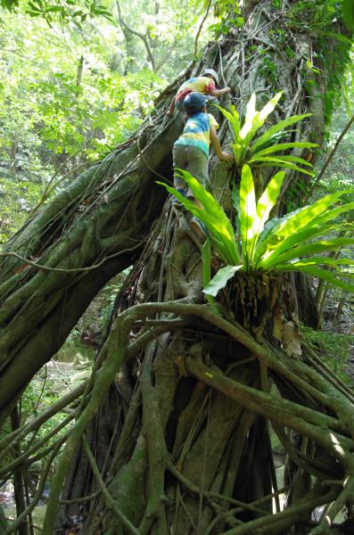 アコウと着生植物シマオオタニワタリ