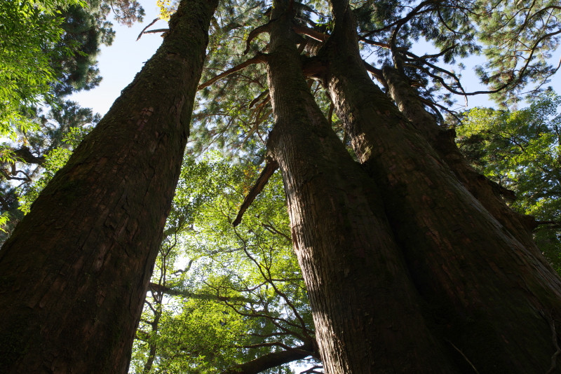 屋久杉の合体木