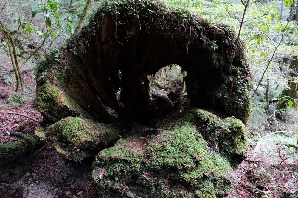 屋久島太忠岳登山道上の屋久杉倒木