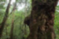 屋久島屋久杉の森ともののけ姫の森