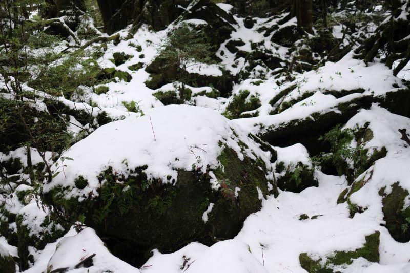 冬、積雪の見られる白谷雲水峡苔むす森
