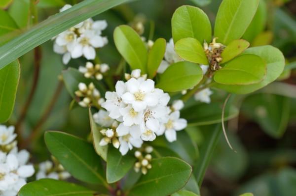 屋久島の植物シャリンバイ