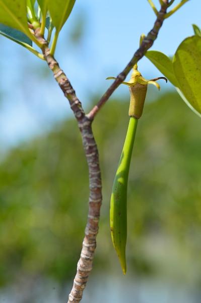 屋久島メヒルギの種子