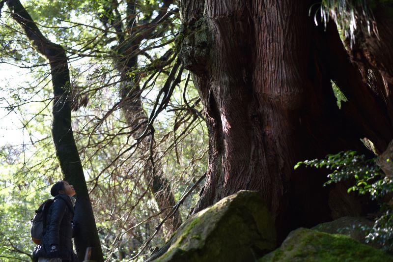 冬の白谷雲水峡の二代大杉