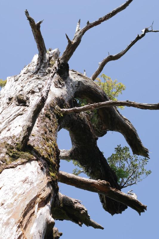 屋久島モミの大木
