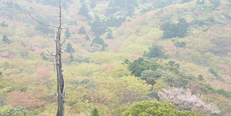 屋久島白谷雲水峡エコツアー太鼓岩からの新緑と桜
