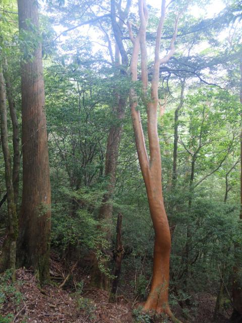 屋久島屋久杉の森ヒメシャラ