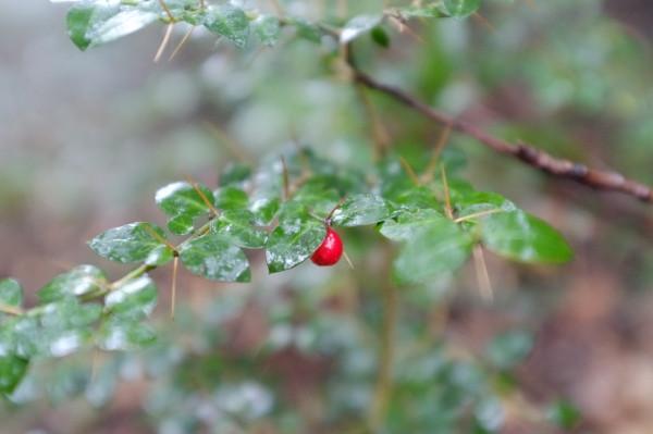 屋久島の植物アリドオシの実