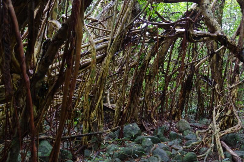 屋久島猿川のガジュマル