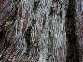 母子杉の木肌