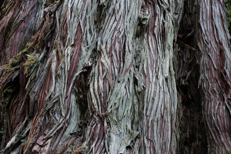 ヤクスギランド母子杉の木肌