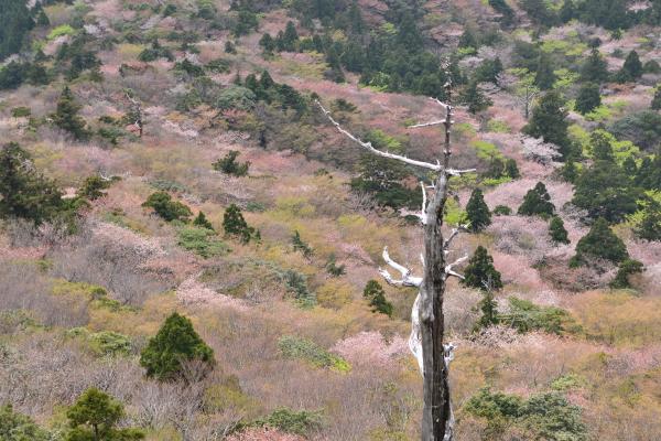 太鼓岩からの山桜・屋久島白谷雲水峡