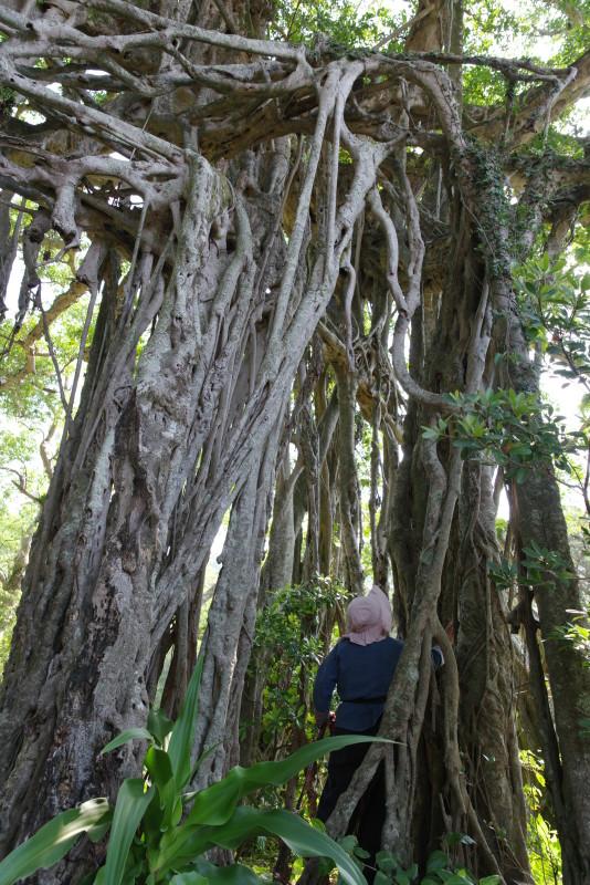 屋久島中間のガジュマル、観光ツアー