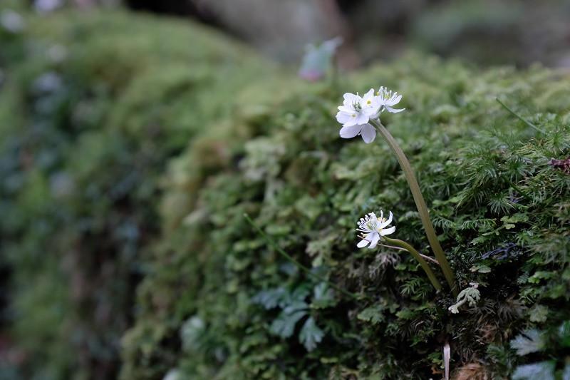 オオゴカヨウオウレン、屋久島の固有種