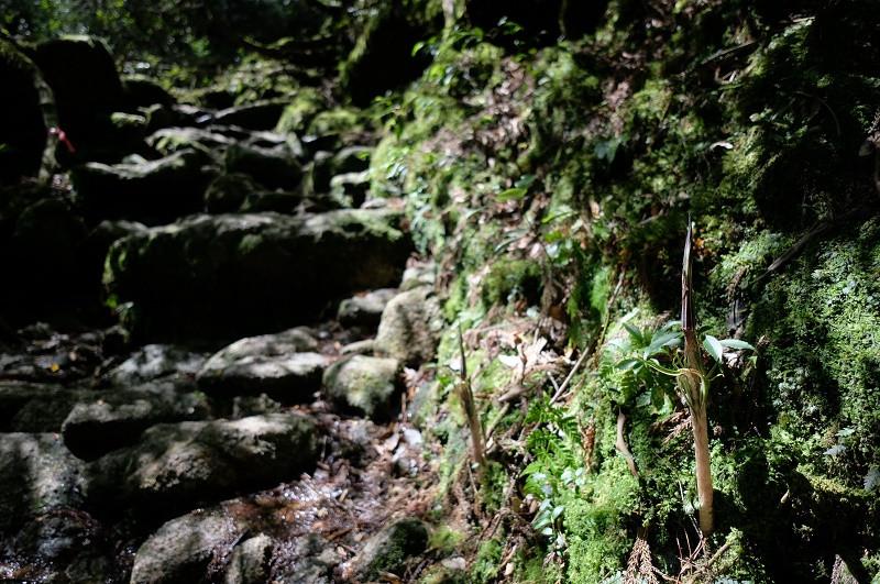 屋久島の植物マムシグサ