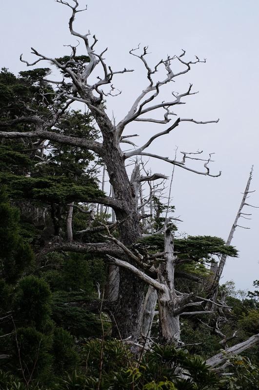 屋久島モッチョム岳白骨樹