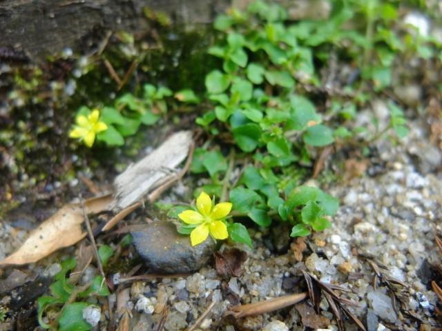 屋久島の植物ヒメコナスビ