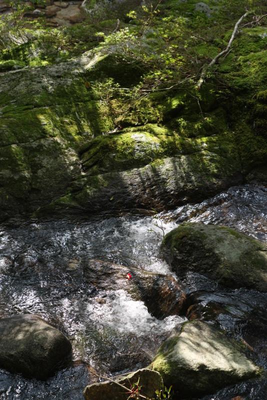 屋久島白谷雲水峡木漏れ日とツバキの花
