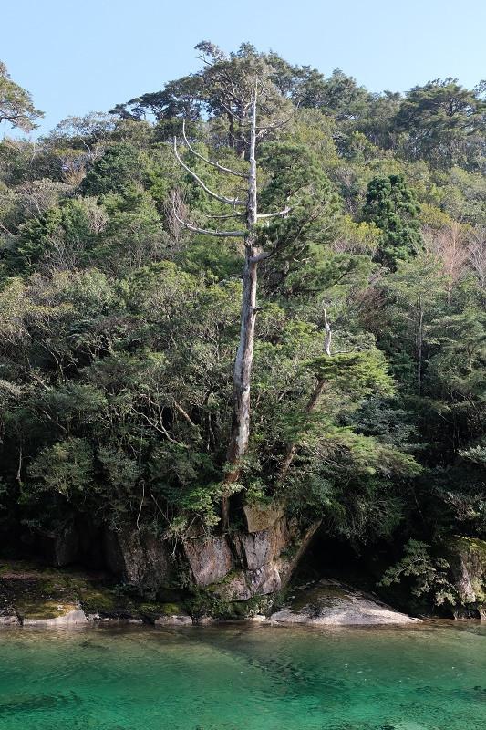 白骨樹となった屋久杉、縄文杉コース