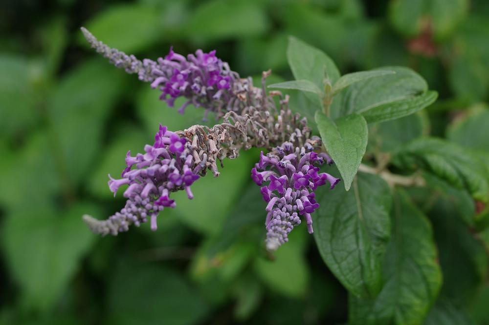 屋久島の植物・花ウラジロフジウツギ