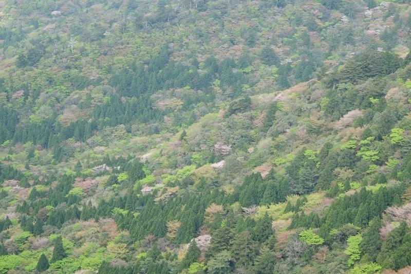 屋久島太鼓岩からの新緑と山桜ガイドツアー