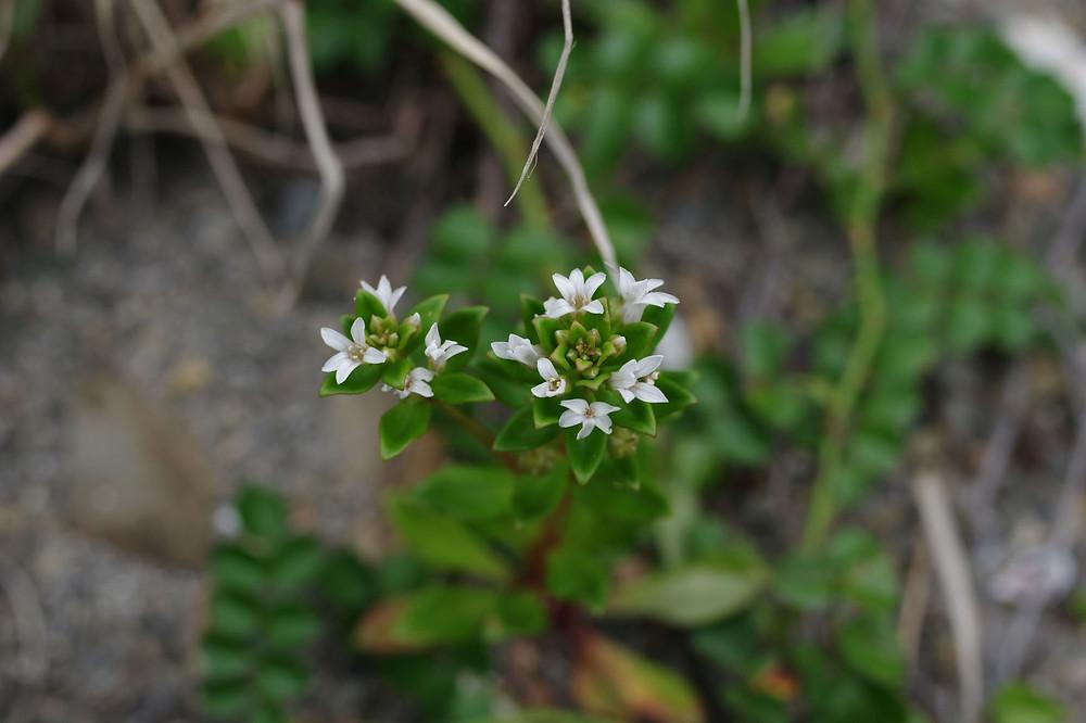 屋久島の植物・花ハマボッス