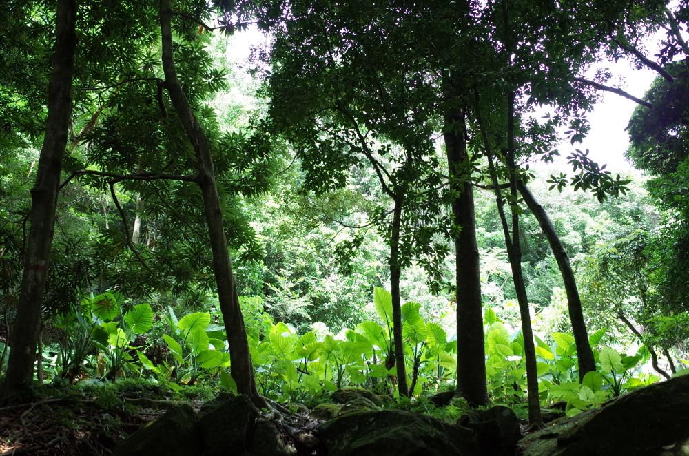 屋久島世界自然遺産の森西部林道のクワズイモ