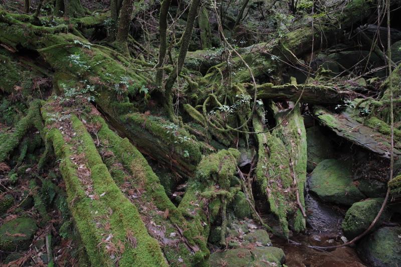 屋久島ヤクスギランドの屋久杉の倒木