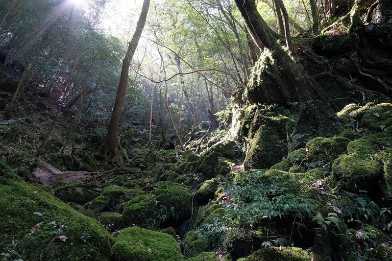 屋久島白谷雲水峡の苔むす森の光芒