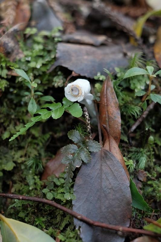 ギンリョウソウ・屋久島の植物