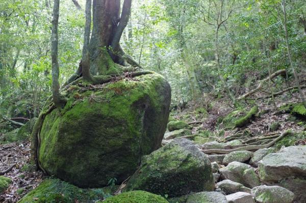 屋久島白谷雲水峡の森、岩