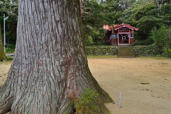 屋久島船行神社の屋久杉