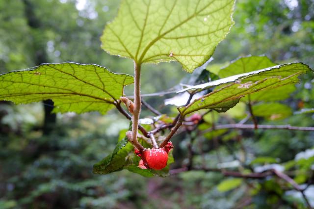 屋久島の植物、ホウロクイチゴ