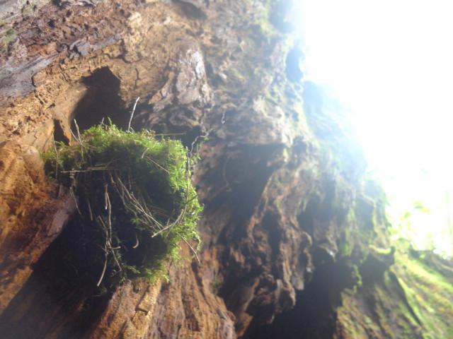 屋久島ウィルソン株の鳥の巣