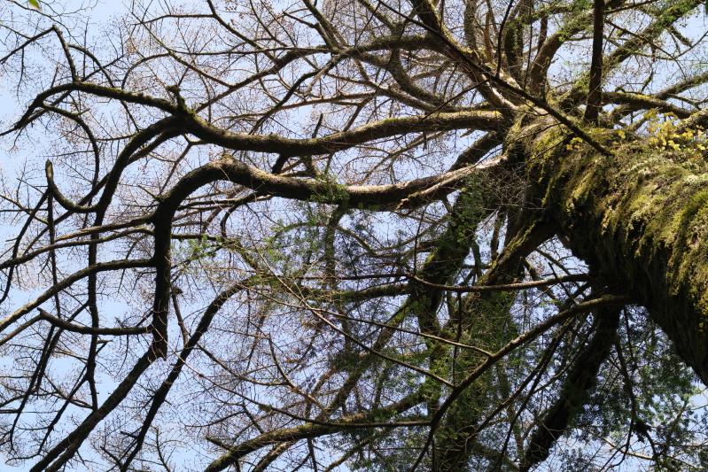 屋久島の大木モミ、ツガ