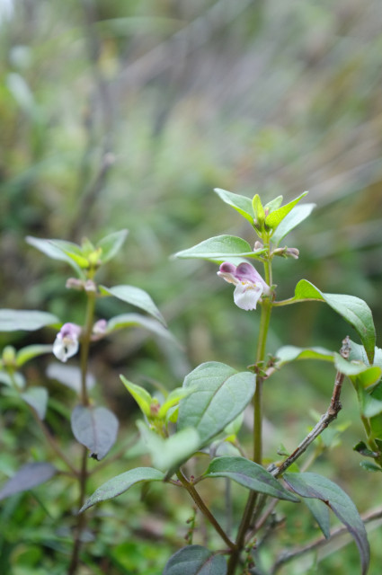 屋久島登山中の植物ヤクシマママコナ