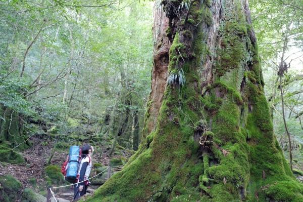屋久島白谷雲水峡の七本杉
