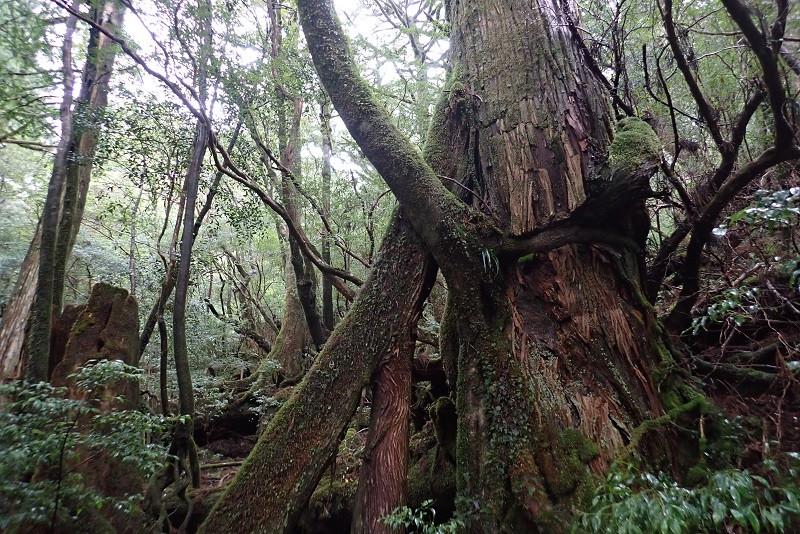 屋久杉とヤマグルマ