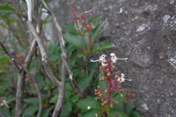屋久島の植物ヤクシマホツツジ