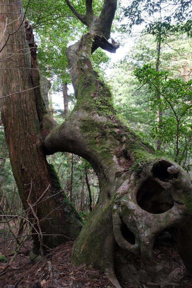 屋久島太忠岳登山道上のヤマグルマ