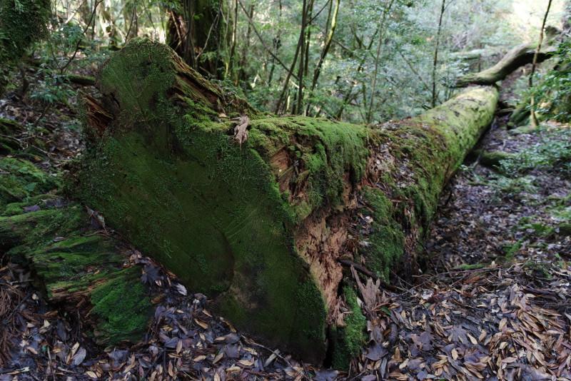 ヤクスギランドの巨木倒木