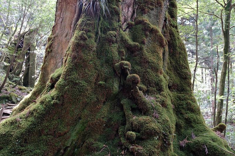 コケに覆われた七本杉、白谷雲水峡
