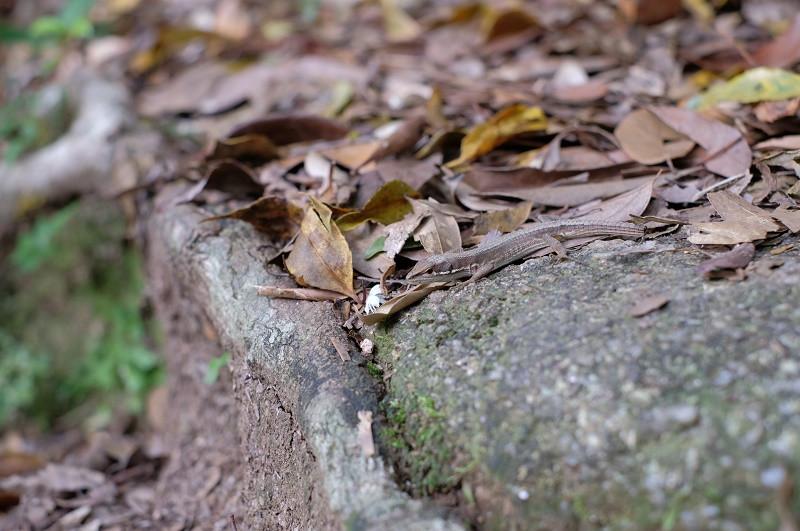 屋久島ニホントカゲ爬虫類