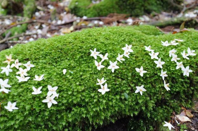 屋久島の植物エゴノキと苔
