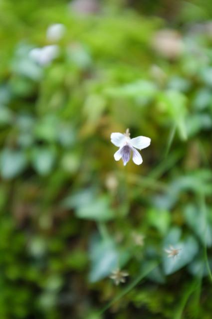 屋久島の植物、ヤクシマミヤマスミレ